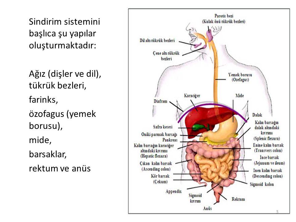 Sindirim sistemini başlıca şu yapılar oluşturmaktadır: Ağız (dişler ve dil), tükrük bezleri, farinks, özofagus (yemek borusu), mide, barsaklar, rektum