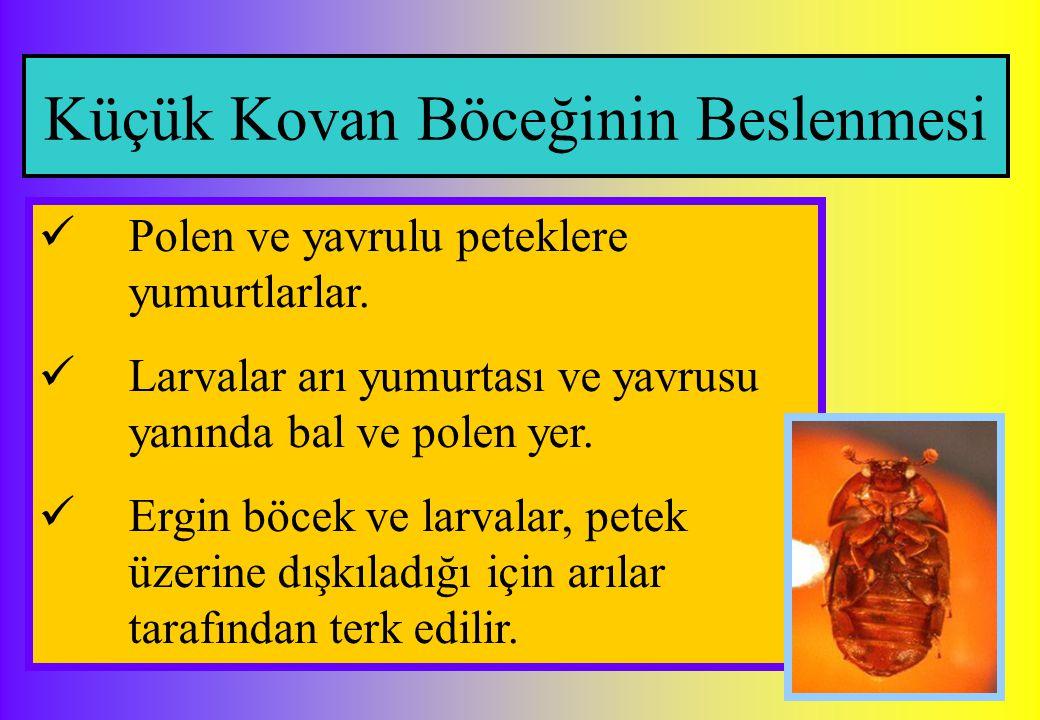 Küçük Kovan Böceğinin Beslenmesi Polen ve yavrulu peteklere yumurtlarlar. Larvalar arı yumurtası ve yavrusu yanında bal ve polen yer. Ergin böcek ve l