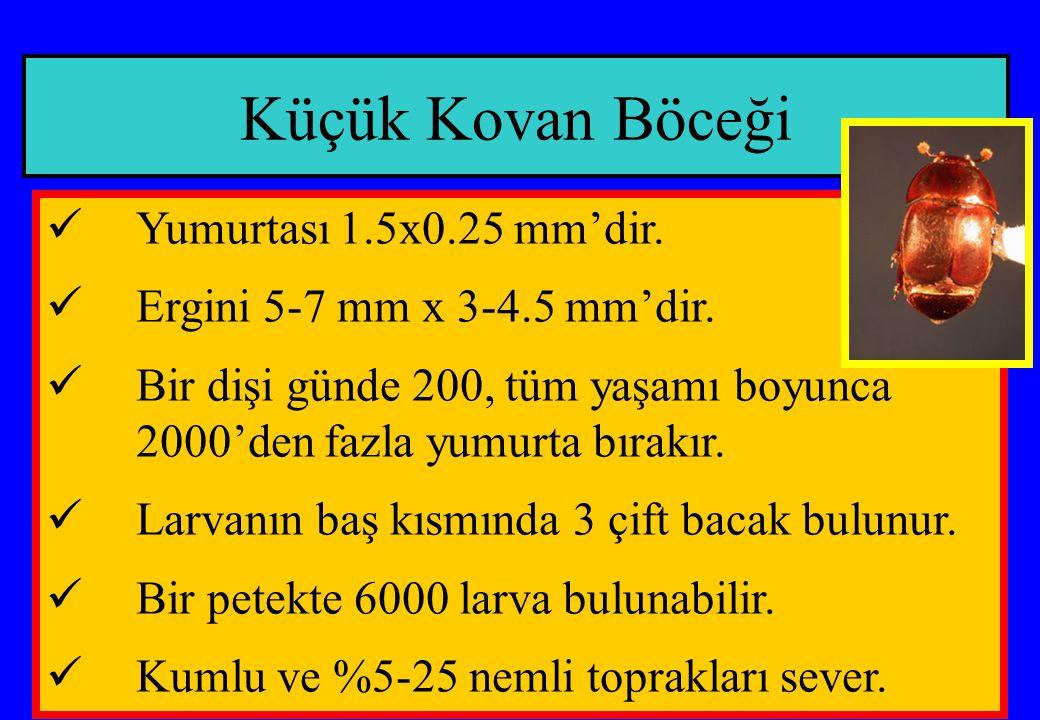 Küçük Kovan Böceği Yumurtası 1.5x0.25 mm'dir. Ergini 5-7 mm x 3-4.5 mm'dir. Bir dişi günde 200, tüm yaşamı boyunca 2000'den fazla yumurta bırakır. Lar