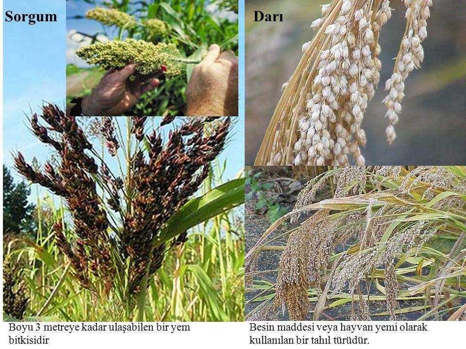 Boyu 3 metreye kadar ulaşabilen bir yem bitkisidir Sorgum Besin maddesi veya hayvan yemi olarak kullanılan bir tahıl türüdür. Darı
