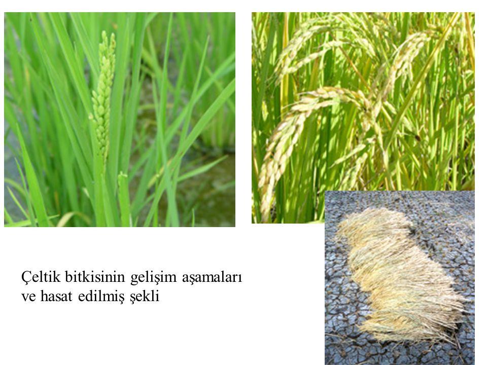Çeltik bitkisinin gelişim aşamaları ve hasat edilmiş şekli