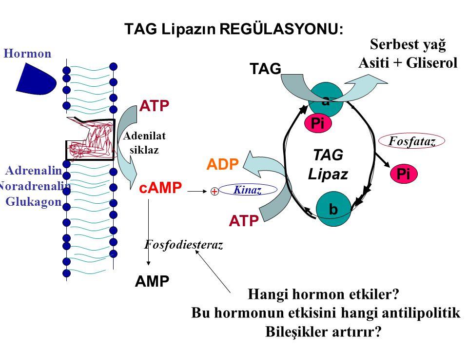 TAG Lipazın REGÜLASYONU: Hormon Adrenalin Noradrenalin Glukagon ATP cAMP Adenilat siklaz + Kinaz a b Fosfataz Pi ATP ADP TAG Pi TAG Lipaz AMP Fosfodie