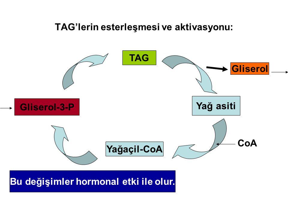 TAG'lerin esterleşmesi ve aktivasyonu: Gliserol-3-P Yağaçil-CoA Yağ asiti TAG Gliserol CoA Bu değişimler hormonal etki ile olur.