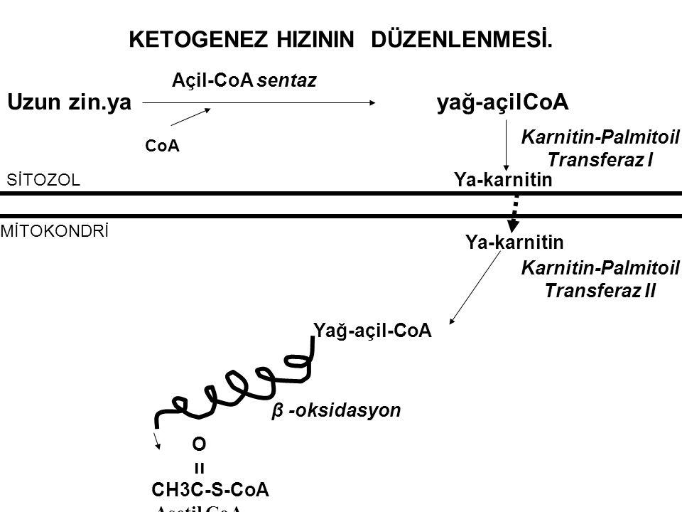 KETOGENEZ HIZININ DÜZENLENMESİ. Uzun zin.ya yağ-açilCoA Açil-CoA sentaz CoA Ya-karnitin Karnitin-Palmitoil Transferaz I SİTOZOL MİTOKONDRİ Ya-karnitin