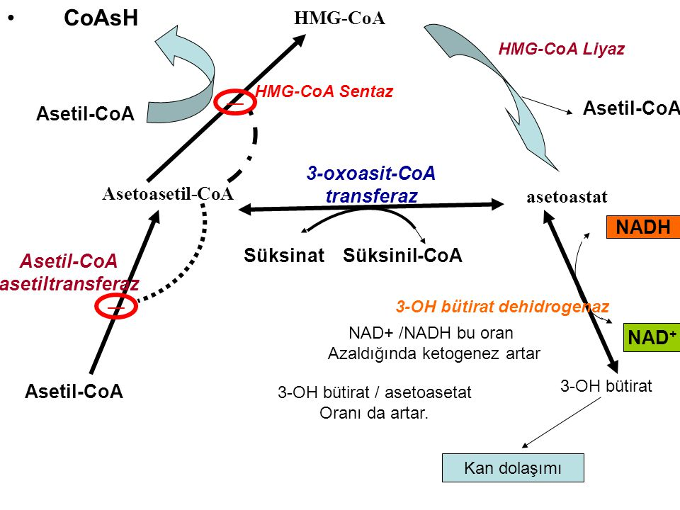 CoAsH Asetoasetil-CoA HMG-CoA asetoastat Asetil-CoA 3-OH bütirat SüksinatSüksinil-CoA HMG-CoA Liyaz 3-oxoasit-CoA transferaz HMG-CoA Sentaz Kan dolaşı