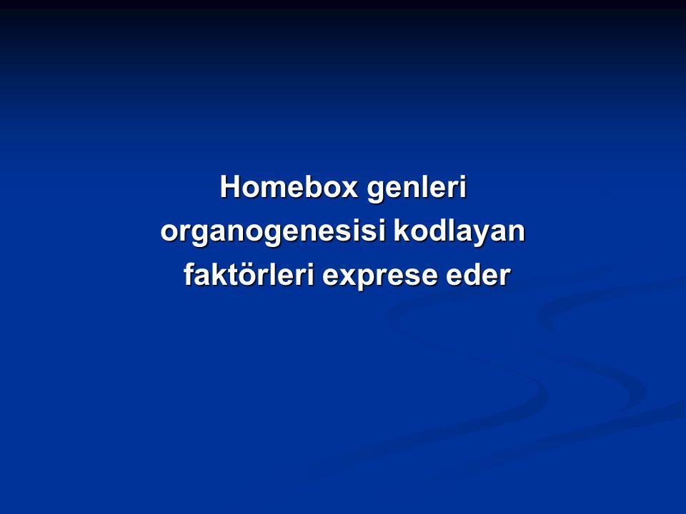 Homebox genleri organogenesisi kodlayan faktörleri exprese eder faktörleri exprese eder