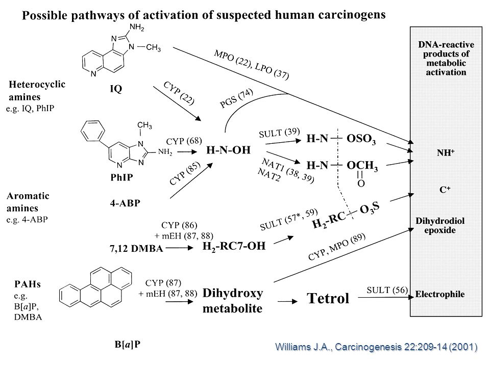 Williams J.A., Carcinogenesis 22:209-14 (2001)