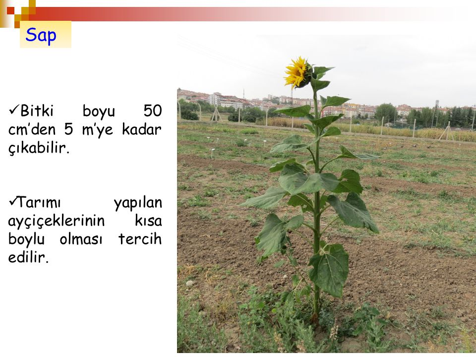 Sap Bitki boyu 50 cm'den 5 m'ye kadar çıkabilir. Tarımı yapılan ayçiçeklerinin kısa boylu olması tercih edilir.