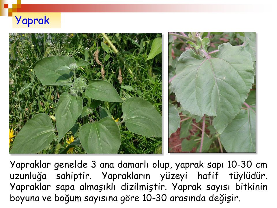 Yaprak Yapraklar genelde 3 ana damarlı olup, yaprak sapı 10-30 cm uzunluğa sahiptir. Yaprakların yüzeyi hafif tüylüdür. Yapraklar sapa almaşıklı dizil