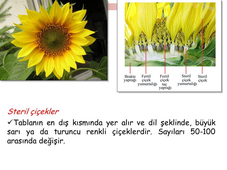 Steril çiçekler Tablanın en dış kısmında yer alır ve dil şeklinde, büyük sarı ya da turuncu renkli çiçeklerdir. Sayıları 50-100 arasında değişir.