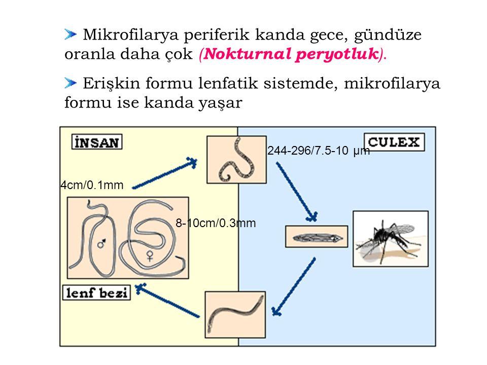 Mikrofilarya periferik kanda gece, gündüze oranla daha çok ( Nokturnal peryotluk ). Erişkin formu lenfatik sistemde, mikrofilarya formu ise kanda yaşa