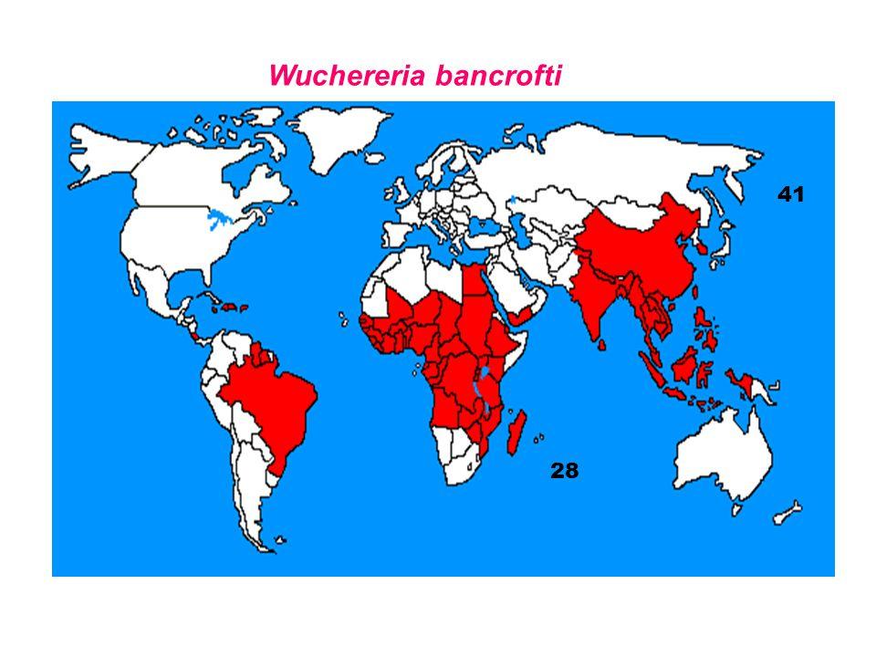 Wuchereria bancrofti 28 41