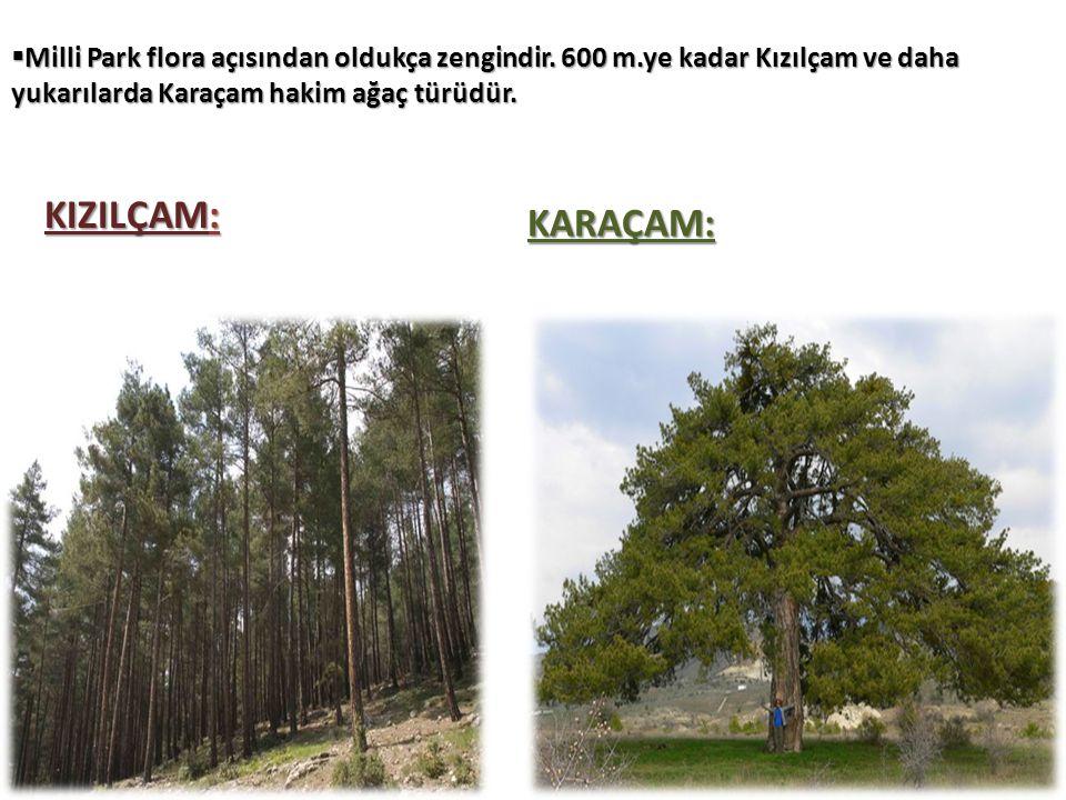  Milli Park flora açısından oldukça zengindir. 600 m.ye kadar Kızılçam ve daha yukarılarda Karaçam hakim ağaç türüdür. KIZILÇAM: KARAÇAM: