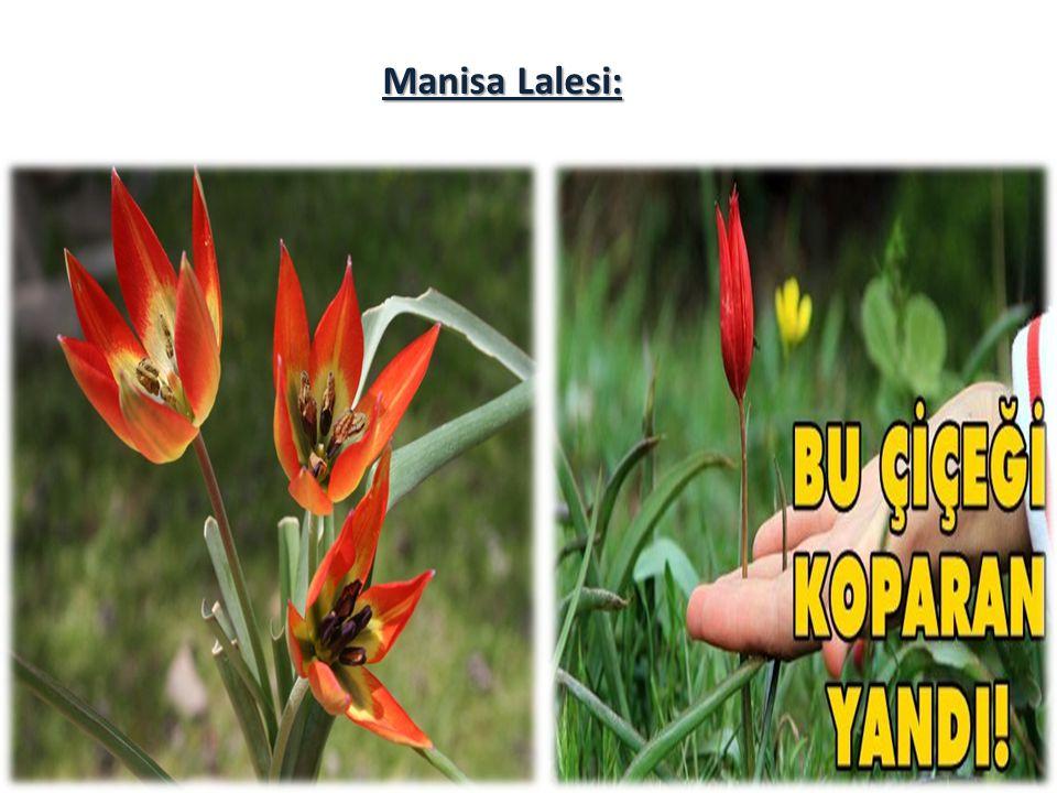 Manisa Lalesi: