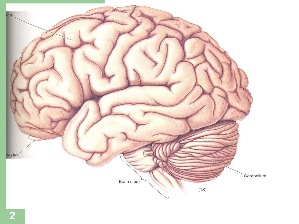 33 HİPNOSEDATİF İLAÇLAR Diğer Anksiyolitikler – BUSPİRON Limbik sistem yapılarında 5-HT 1A tipi otoreseptörleri aktive ederek raphe-limbik seratonerjik sistemi inhibe ederek anksiyolitik etki (sedasyon, amnezi, tolerans, bağımlılık yapmaz, alkolle etkileşmez), – ZOPİKLON Anksiyolitik – ZOLPİDEM Hipnotik Etki mekanizmaları BDZ'e benzer.