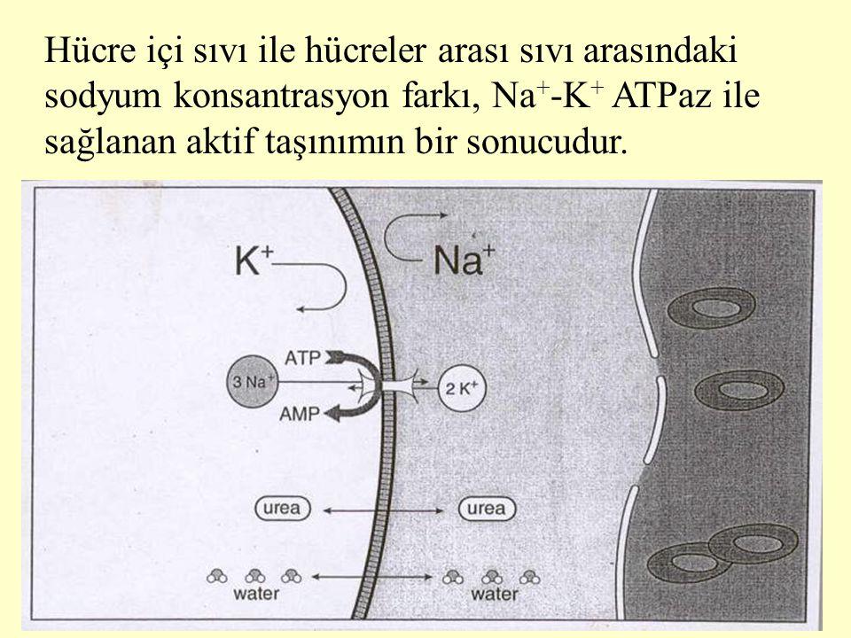Hücre içi sıvı ile hücreler arası sıvı arasındaki sodyum konsantrasyon farkı, Na + -K + ATPaz ile sağlanan aktif taşınımın bir sonucudur.