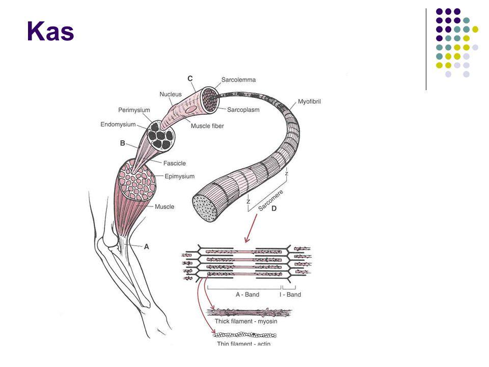 Sinir kas bağlantısı Tek bir motor nöron ve onun bağlantıda olduğu bütün kas liflerine motor birim denir.