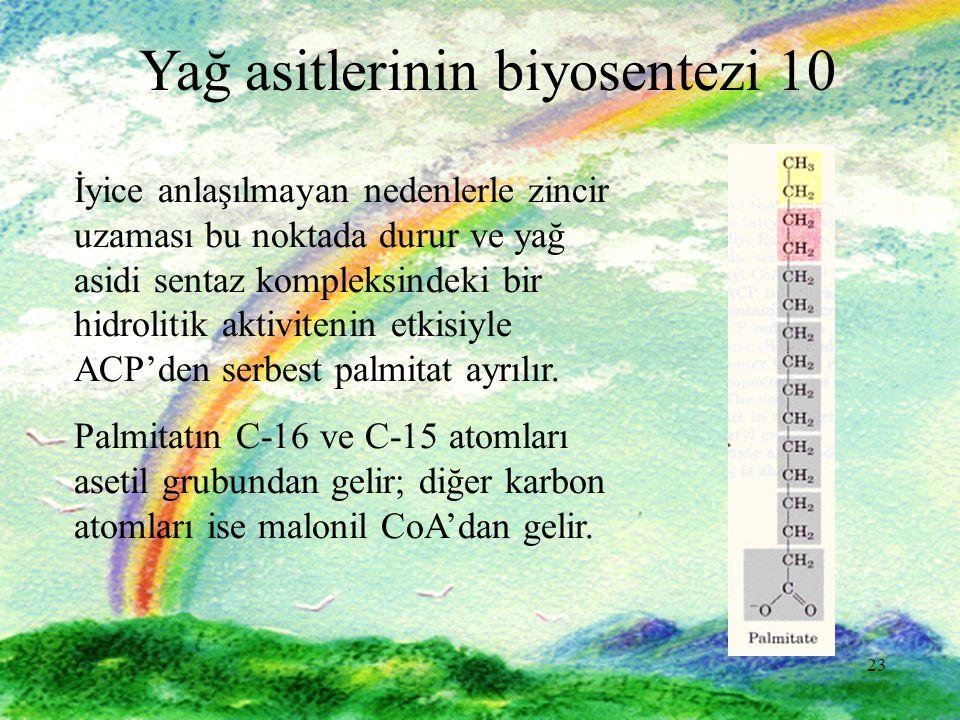 23 Yağ asitlerinin biyosentezi 10 İyice anlaşılmayan nedenlerle zincir uzaması bu noktada durur ve yağ asidi sentaz kompleksindeki bir hidrolitik aktivitenin etkisiyle ACP'den serbest palmitat ayrılır.