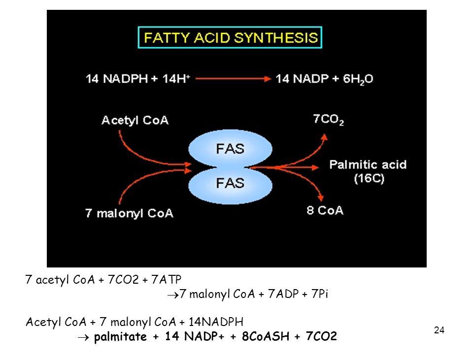 24 7 acetyl CoA + 7CO2 + 7ATP  7 malonyl CoA + 7ADP + 7Pi Acetyl CoA + 7 malonyl CoA + 14NADPH  palmitate + 14 NADP+ + 8CoASH + 7CO2