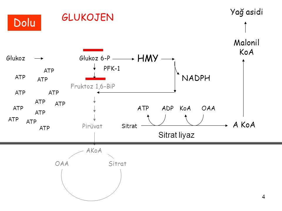 4 GlukozGlukoz 6-P Fruktoz 1,6-BiP PFK-1 Pirüvat AKoA OAASitrat ATP Sitrat GLUKOJEN Dolu HMY NADPH ATP A KoA ATPADPKoA Sitrat liyaz OAA Malonil KoA Yağ asidi