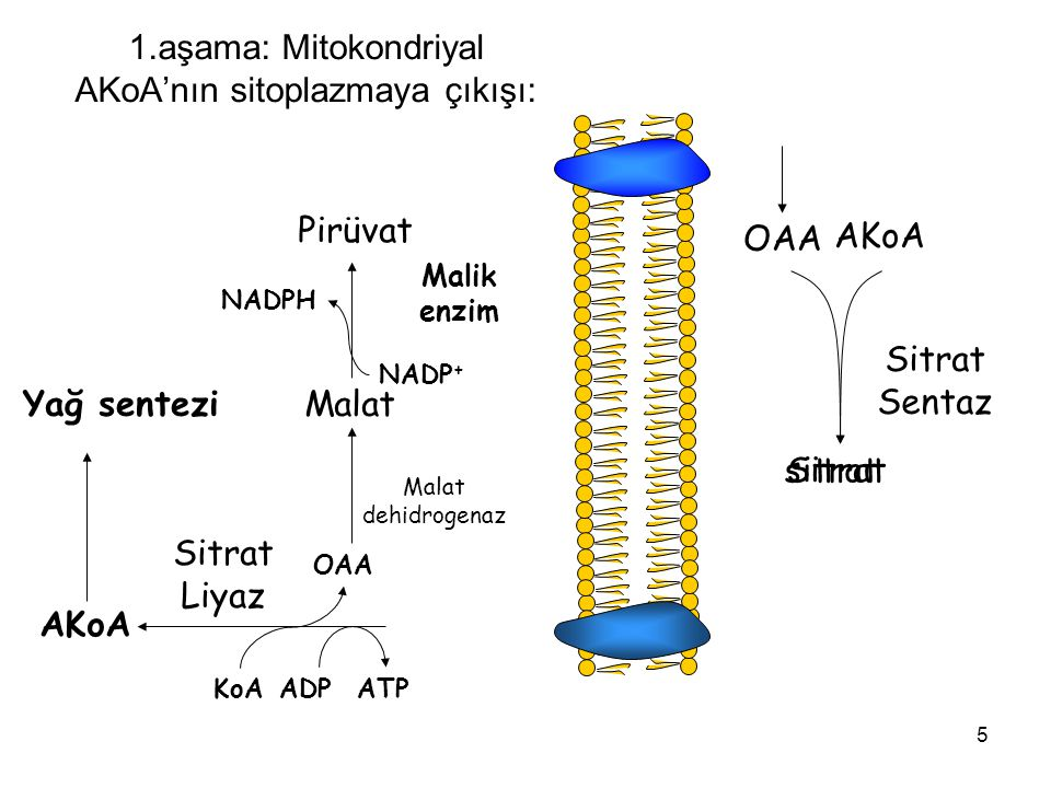 5 sitrat 1.aşama: Mitokondriyal AKoA'nın sitoplazmaya çıkışı: OAA AKoA Sitrat Sentaz Sitrat ATPADPKoA OAA AKoA Sitrat Liyaz Malat dehidrogenaz Malat Malik enzim Pirüvat NADP + NADPH Yağ sentezi