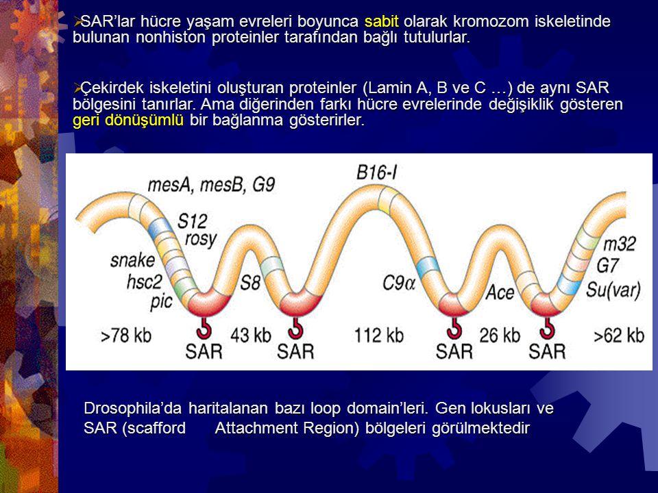  SAR'lar hücre yaşam evreleri boyunca sabit olarak kromozom iskeletinde bulunan nonhiston proteinler tarafından bağlı tutulurlar.  Çekirdek iskeleti