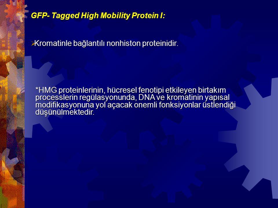GFP- Tagged High Mobility Protein I:  Kromatinle bağlantılı nonhiston proteinidir. *HMG proteinlerinin, hücresel fenotipi etkileyen birtakım processl
