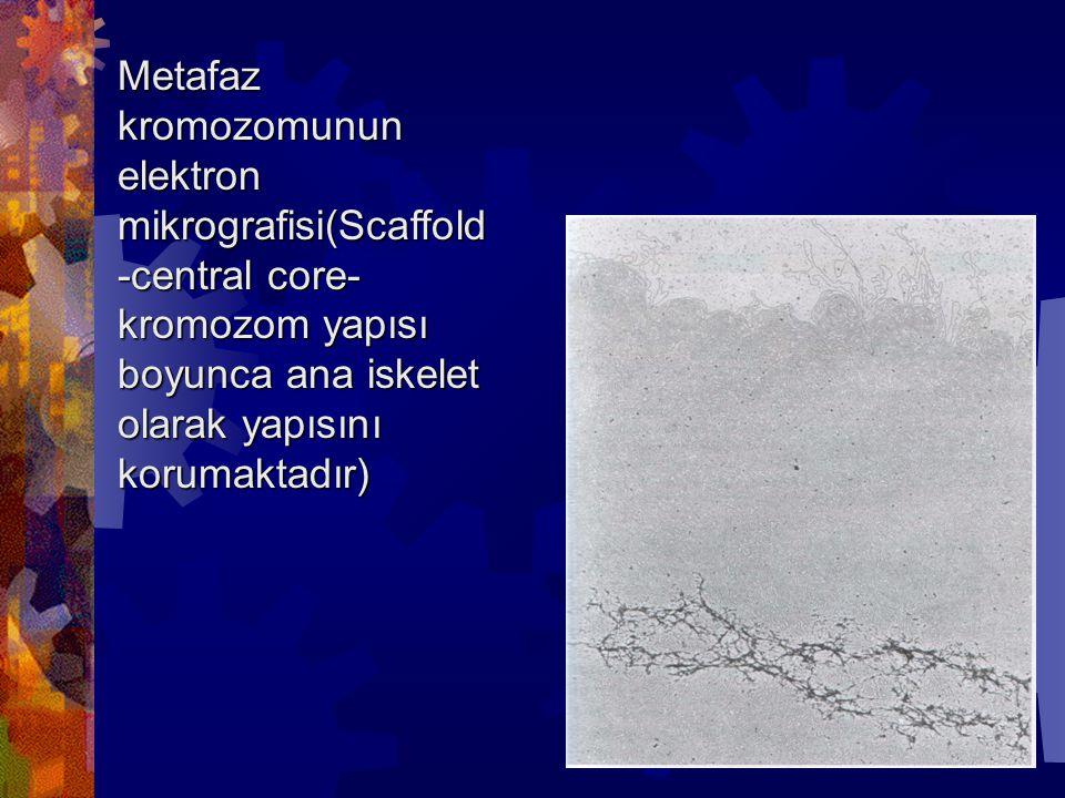 Metafaz kromozomunun elektron mikrografisi(Scaffold -central core- kromozom yapısı boyunca ana iskelet olarak yapısını korumaktadır)