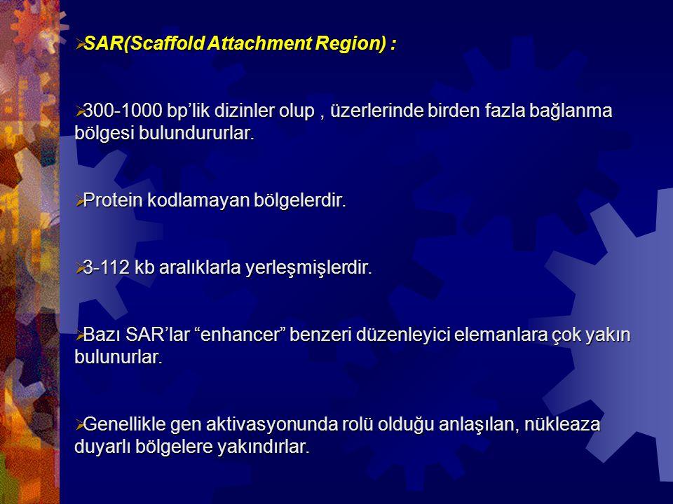  SAR(Scaffold Attachment Region) :  300-1000 bp'lik dizinler olup, üzerlerinde birden fazla bağlanma bölgesi bulundururlar.  Protein kodlamayan böl