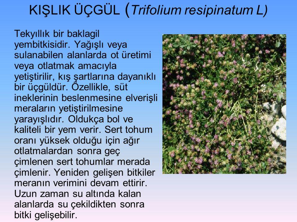 KIŞLIK ÜÇGÜL ( Trifolium resipinatum L) Tekyıllık bir baklagil yembitkisidir. Yağışlı veya sulanabilen alanlarda ot üretimi veya otlatmak amacıyla yet
