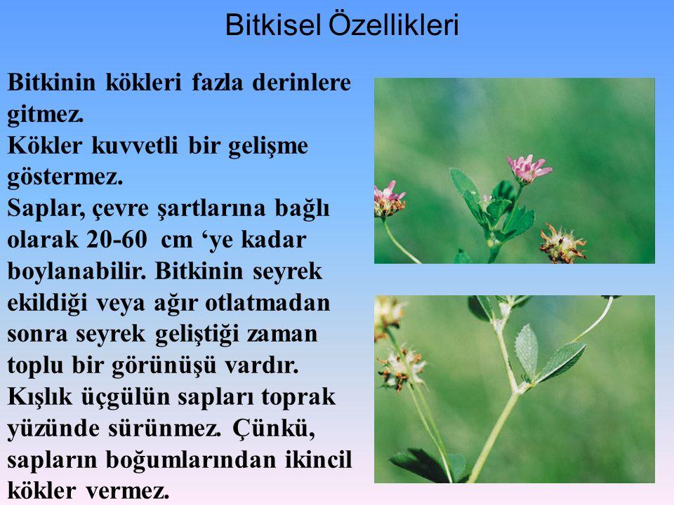 Bitkisel Özellikleri Bitkinin kökleri fazla derinlere gitmez. Kökler kuvvetli bir gelişme göstermez. Saplar, çevre şartlarına bağlı olarak 20-60 cm 'y