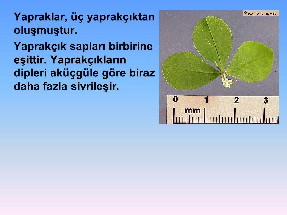 Yapraklar, üç yaprakçıktan oluşmuştur. Yaprakçık sapları birbirine eşittir. Yaprakçıkların dipleri aküçgüle göre biraz daha fazla sivrileşir.