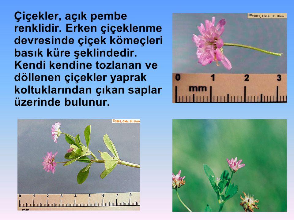 Çiçekler, açık pembe renklidir. Erken çiçeklenme devresinde çiçek kömeçleri basık küre şeklindedir. Kendi kendine tozlanan ve döllenen çiçekler yaprak