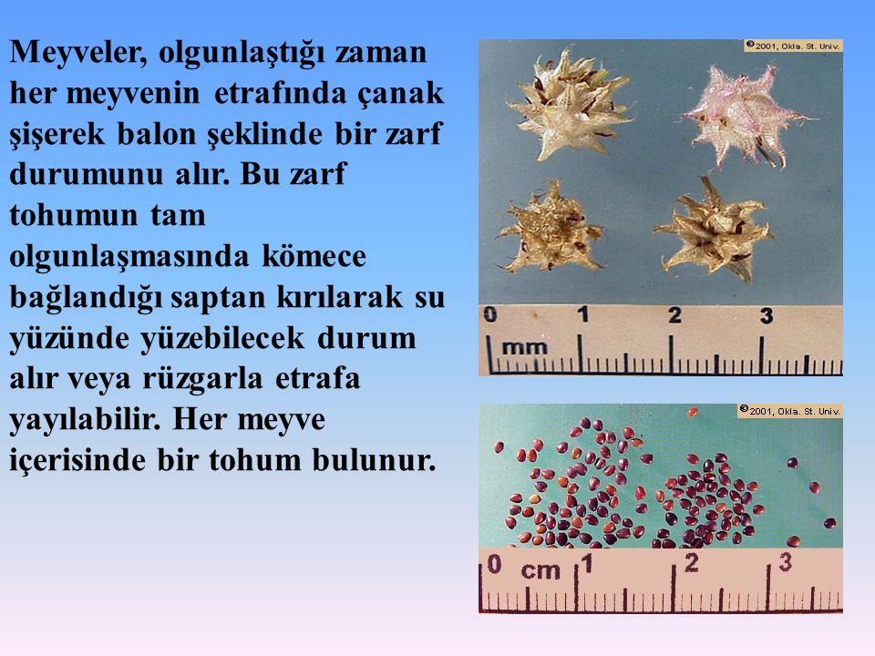 Meyveler, olgunlaştığı zaman her meyvenin etrafında çanak şişerek balon şeklinde bir zarf durumunu alır. Bu zarf tohumun tam olgunlaşmasında kömece ba