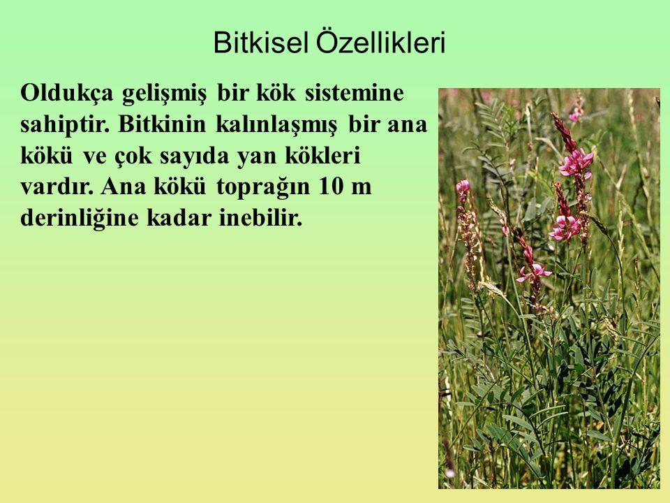 Bitkisel Özellikleri Oldukça gelişmiş bir kök sistemine sahiptir. Bitkinin kalınlaşmış bir ana kökü ve çok sayıda yan kökleri vardır. Ana kökü toprağı