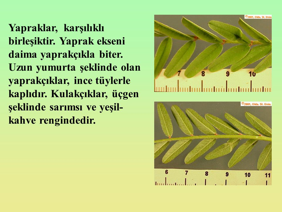 Yapraklar, karşılıklı birleşiktir. Yaprak ekseni daima yaprakçıkla biter. Uzun yumurta şeklinde olan yaprakçıklar, ince tüylerle kaplıdır. Kulakçıklar