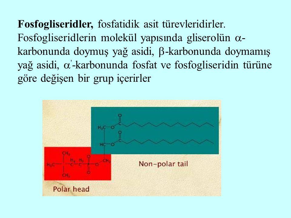 Fosfogliseridler, fosfatidik asit türevleridirler. Fosfogliseridlerin molekül yapısında gliserolün  - karbonunda doymuş yağ asidi,  -karbonunda doym