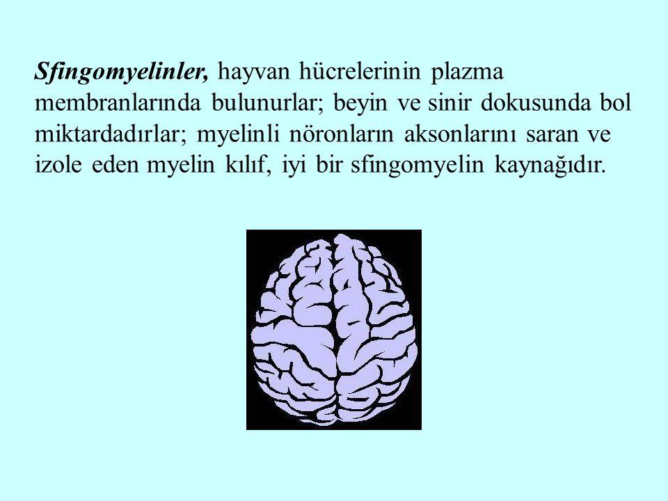 Sfingomyelinler, hayvan hücrelerinin plazma membranlarında bulunurlar; beyin ve sinir dokusunda bol miktardadırlar; myelinli nöronların aksonlarını sa