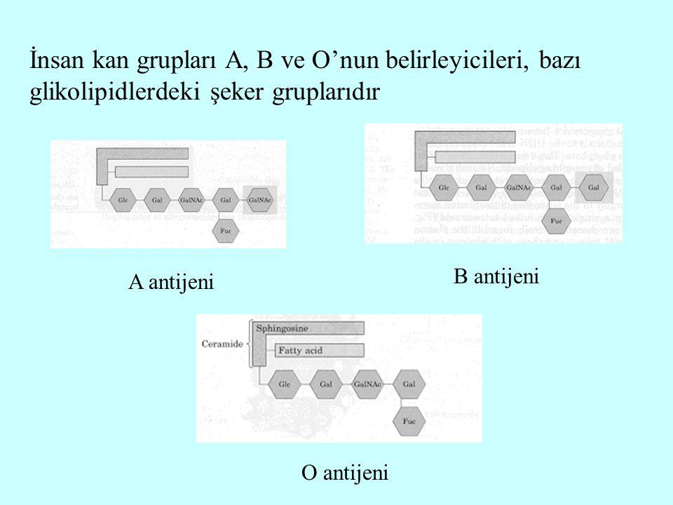 İnsan kan grupları A, B ve O'nun belirleyicileri, bazı glikolipidlerdeki şeker gruplarıdır A antijeni B antijeni O antijeni