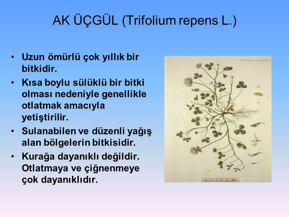 AK ÜÇGÜL (Trifolium repens L.) Uzun ömürlü çok yıllık bir bitkidir. Kısa boylu sülüklü bir bitki olması nedeniyle genellikle otlatmak amacıyla yetişti