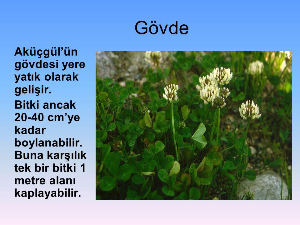 Gövde Aküçgül'ün gövdesi yere yatık olarak gelişir. Bitki ancak 20-40 cm'ye kadar boylanabilir. Buna karşılık tek bir bitki 1 metre alanı kaplayabilir
