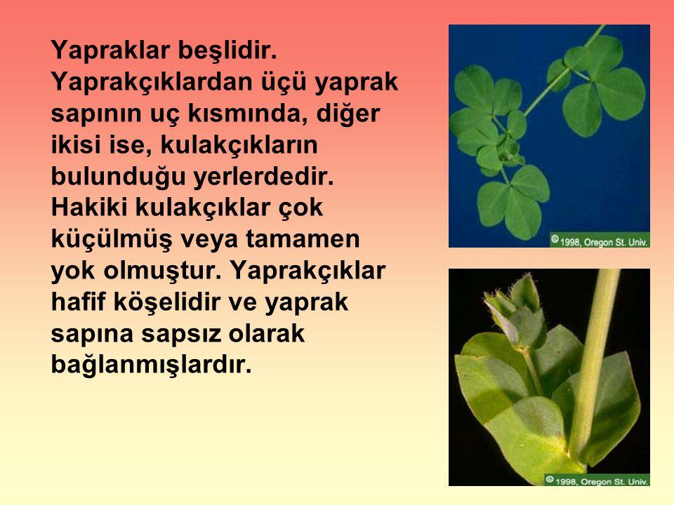 Yapraklar beşlidir. Yaprakçıklardan üçü yaprak sapının uç kısmında, diğer ikisi ise, kulakçıkların bulunduğu yerlerdedir. Hakiki kulakçıklar çok küçül