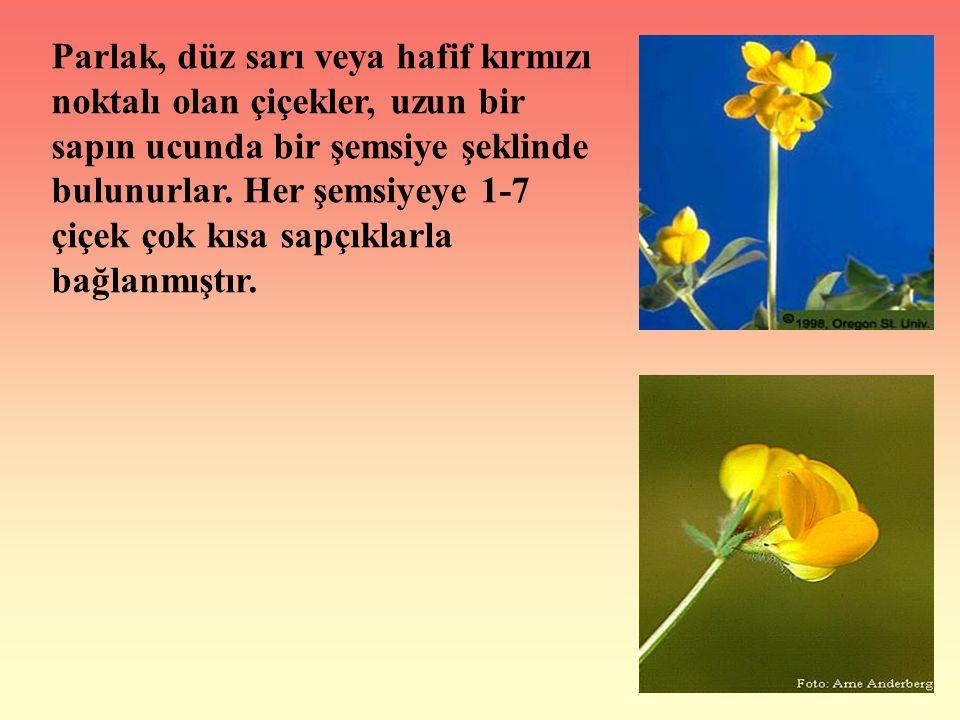 Parlak, düz sarı veya hafif kırmızı noktalı olan çiçekler, uzun bir sapın ucunda bir şemsiye şeklinde bulunurlar. Her şemsiyeye 1-7 çiçek çok kısa sap