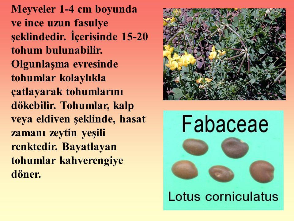 Meyveler 1-4 cm boyunda ve ince uzun fasulye şeklindedir. İçerisinde 15-20 tohum bulunabilir. Olgunlaşma evresinde tohumlar kolaylıkla çatlayarak tohu