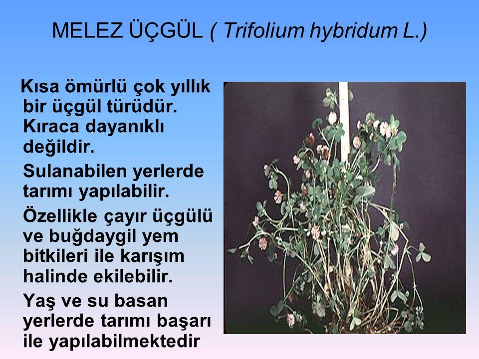 MELEZ ÜÇGÜL ( Trifolium hybridum L.) Kısa ömürlü çok yıllık bir üçgül türüdür.