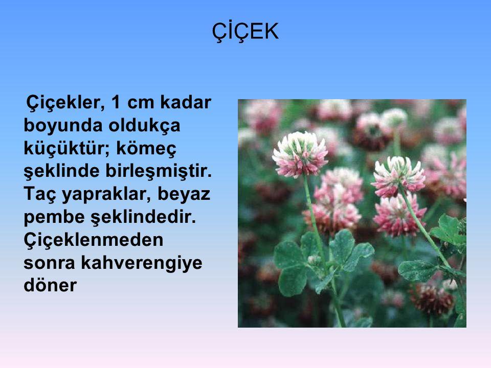 ÇİÇEK Çiçekler, 1 cm kadar boyunda oldukça küçüktür; kömeç şeklinde birleşmiştir.