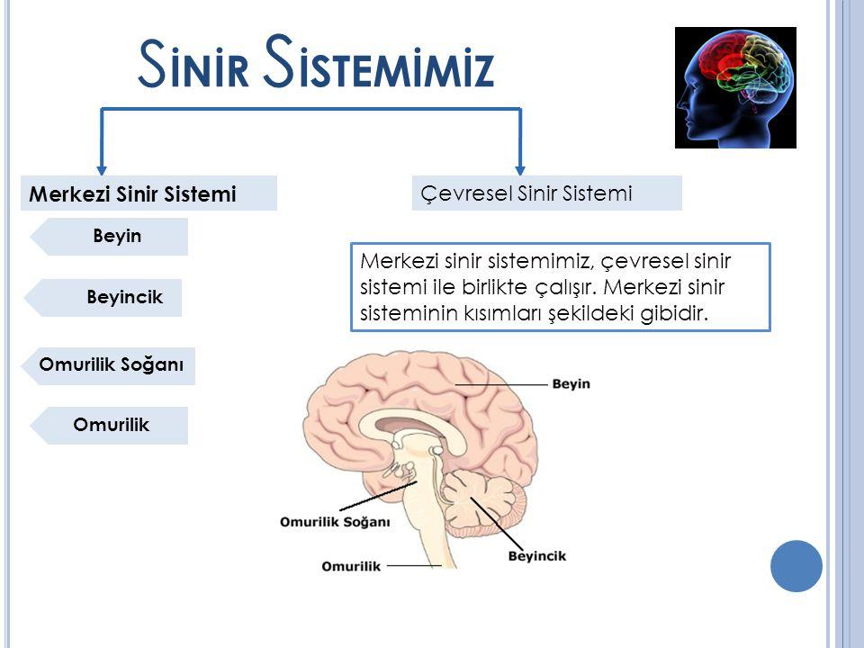 S İNİR S İSTEMİMİZ Merkezi Sinir Sistemi Çevresel Sinir Sistemi Beyin Beyincik Omurilik Soğanı Omurilik Merkezi sinir sistemimiz, çevresel sinir sistemi ile birlikte çalışır.
