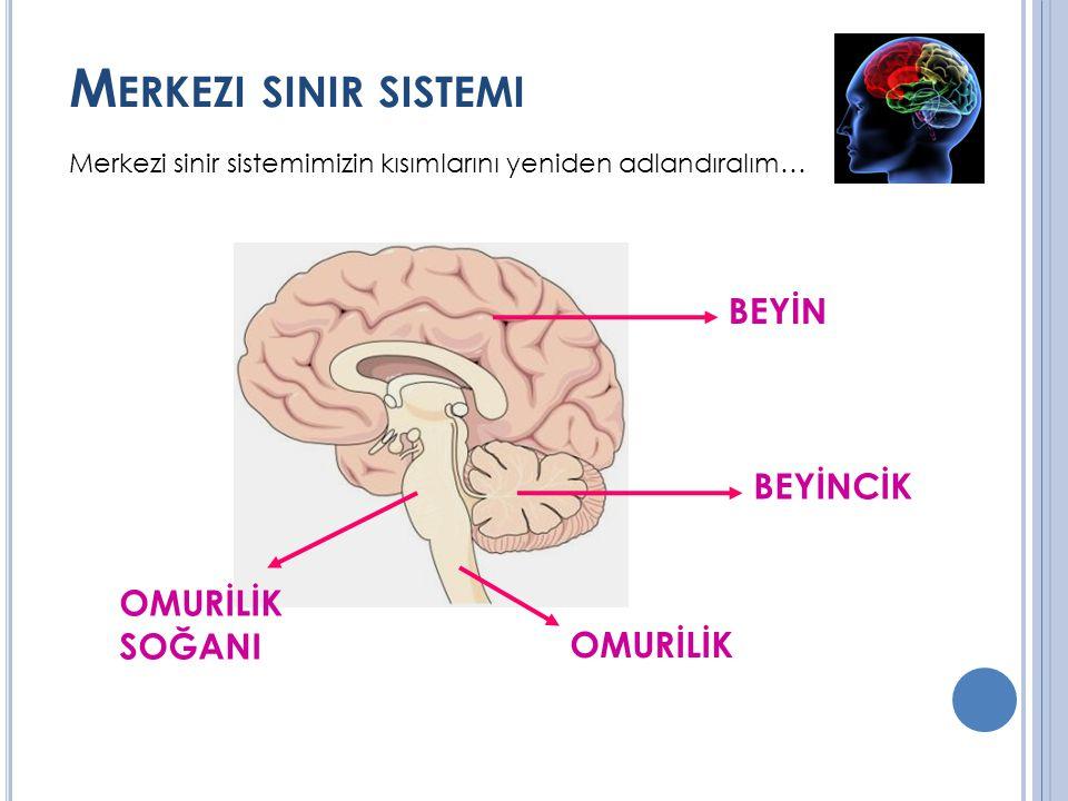 M ERKEZI SINIR SISTEMI Merkezi sinir sistemimizin kısımlarını yeniden adlandıralım… BEYİN BEYİNCİK OMURİLİK SOĞANI OMURİLİK