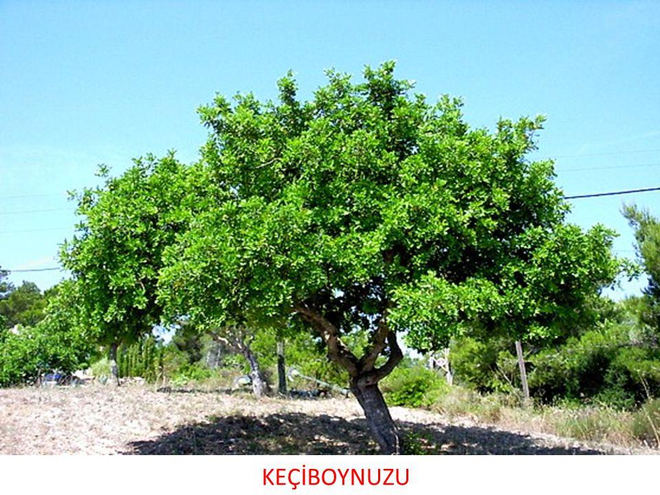 KEÇİBOYNUZU