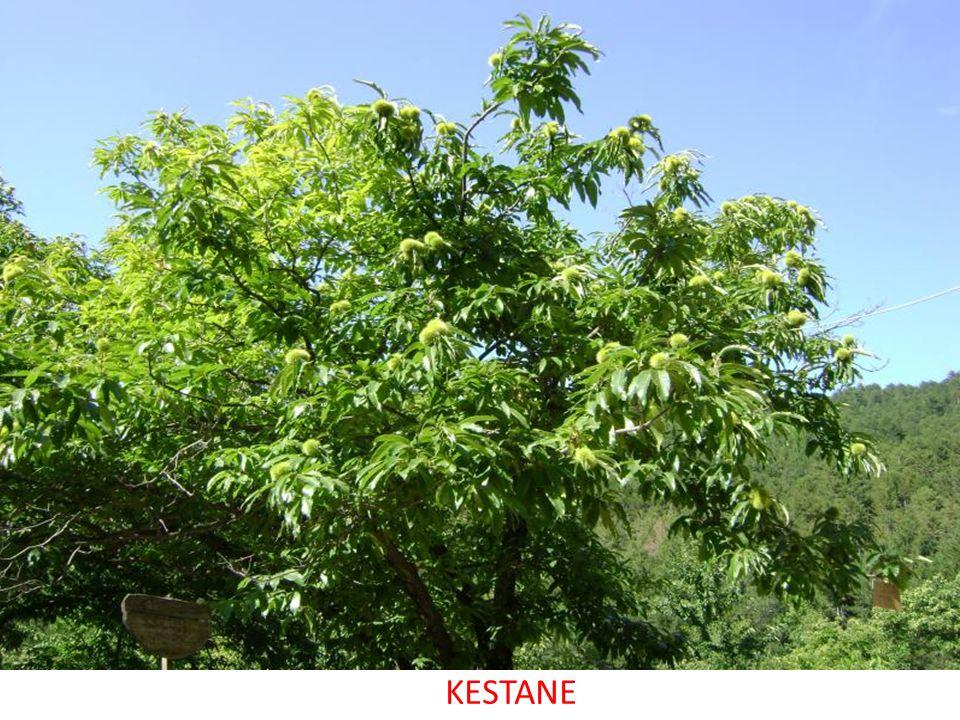 KESTANE